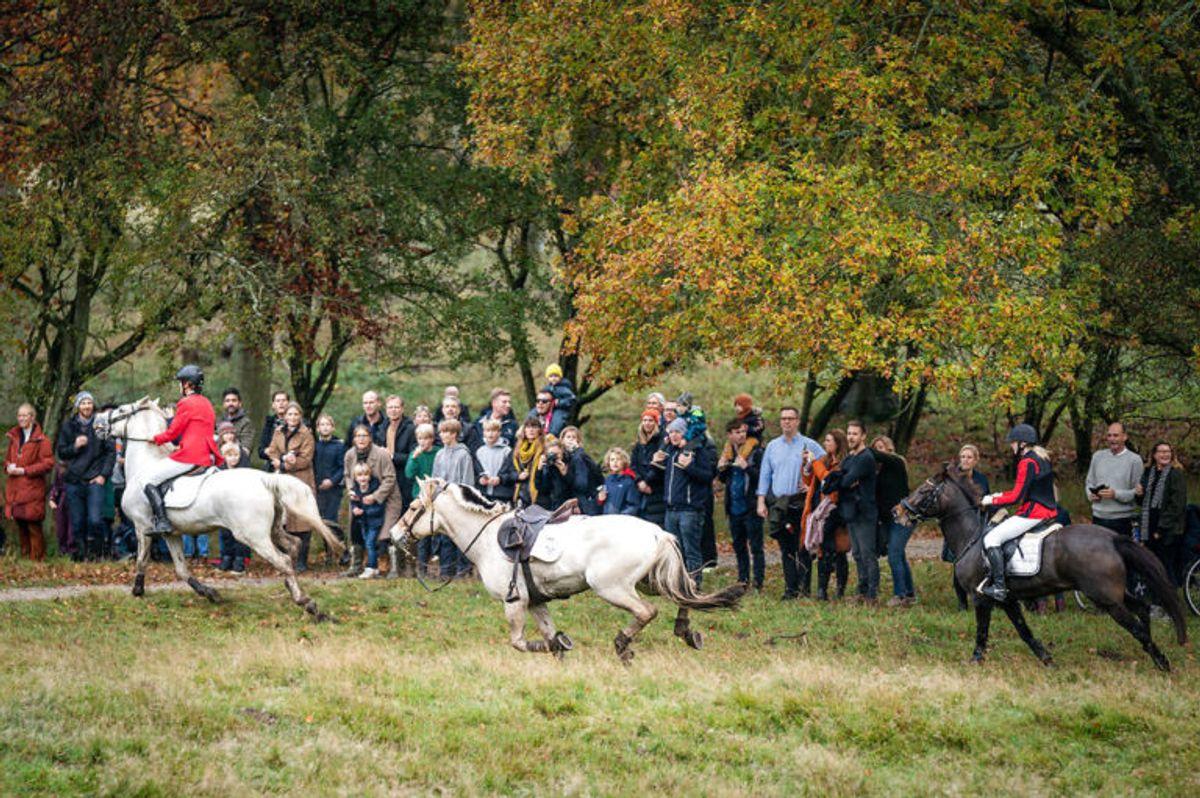 """En hest uden rytter rider hastigt videre på rutten, under Hubertusjagten 2019 i Dyrehaven ved Klampenborg, søndag den 3. november 2019. Hubertusjagten er en symbolsk videreførelse af de gamle parforce-jagter, som Dyrehaven oprindeligt er anlagt til. Her lod man hunde støve ræven op, og feltet fulgte hunde og ræv. I dag er der ingen jagthunde, og ræven er erstattet af to """"forlorne"""" ræve i form af to erfarne ryttere, som rider forrest med rævehaler på deres røde ridejakker. Jagten er ca. 11 km lang og tager 1½ time.. (Foto: Niels Christian Vilmann/Ritzau Scanpix)"""