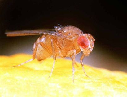 Fruit Fly Strains SPH 176 // Drosophila melanogaster - Wild Type - UK // © Steve Hopkin ARDEA LONDON