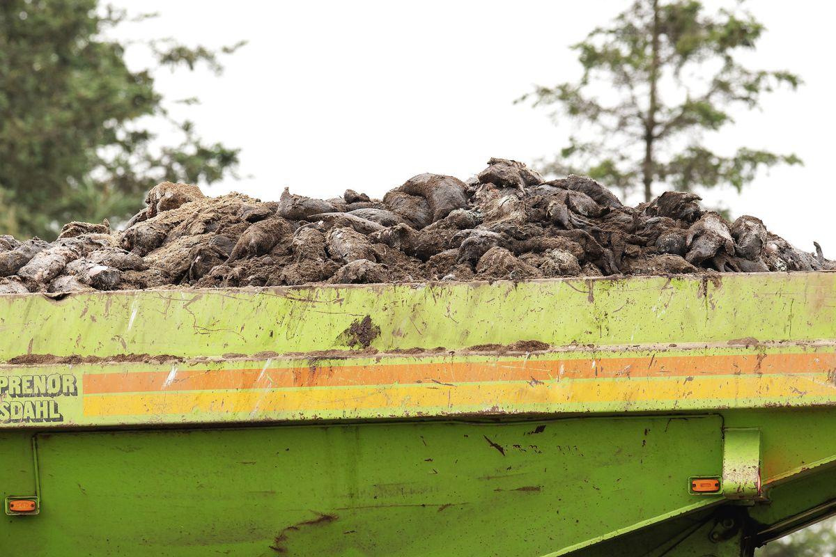 Mandag bliver de sidste af de cirka 7.000 ton mink ved Kølvrå gravet op. (Foto: Bo Amstrup/Ritzau Scanpix) (Foto: Bo Amstrup/Ritzau Scanpix)