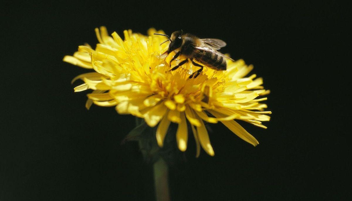 Hvepsene bliver særligt aggressive i slutningen af sommeren, når de har skaffet føde til boets larver. Er du hvepseallergiker, skal du være særligt opmærksom. Foto: JOHNER IMAGES