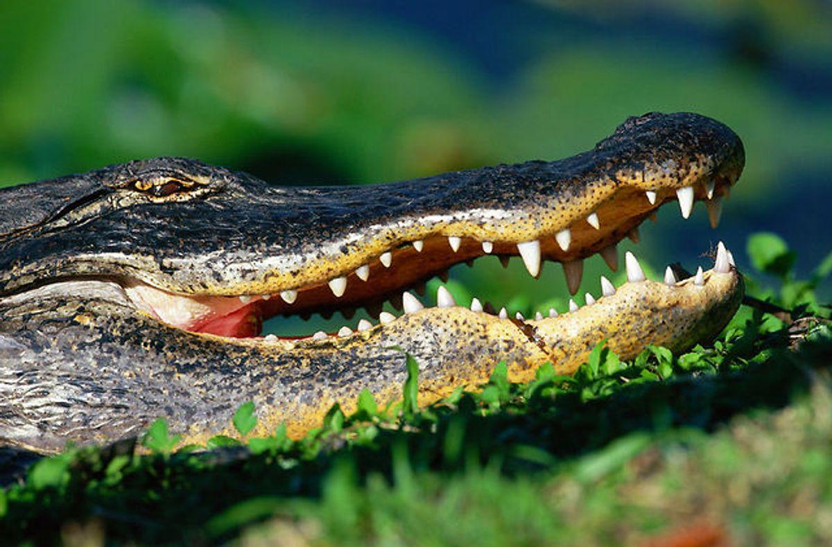 En 32-årig mand trampede på en alligator og forsøgte at smide den op på taget af en cocktailbar. Foto: Brian Sytnyk/Masterfile/Ritzau Scanpix