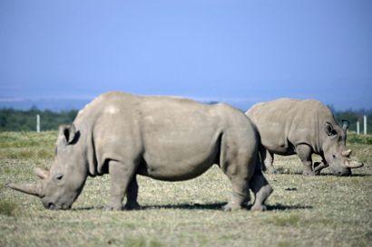 Fatu (i baggrunden) lever med sin mor, Najin, i et fredet område i Kenya. De to er de eneste tilbageværende nordlige hvide næsehorn i verden. Men der er dannet fostre med Fatus æg, hvilket giver håb. (Arkivfoto).