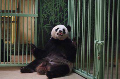 Her ses pandaen Huan Huan, kort tid før hun fødte to unger natten til mandag. Huan Huan, der betyder lykke på kinesisk, er udlånt til Frankrig af Kina.