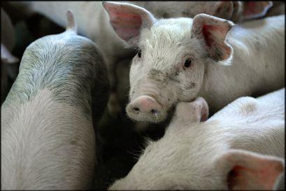 DanBred arbejder inden for grisegenetik. Selskabet havde sidste år en omsætning på 1,2 milliarder kroner .