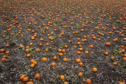 Siden sidste år er arealet til dyrkning af de græskar, vi bruger til halloween, vokset med 20 procent.